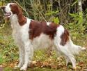 Picture for category Irish Red and White Setter