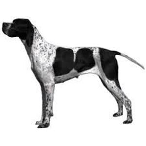 Picture of English Pointer