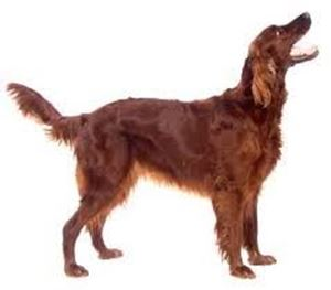 Picture of  Irish Red Setter